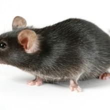 Как вывести мышей