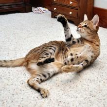 Кот метит территорию - как избавиться от запаха