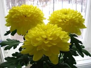 Что сделать, чтобы хризантемы дольше простояли в вазе