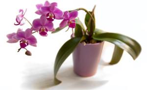 Как избавиться от тли, щитовки, червеца на орхидее
