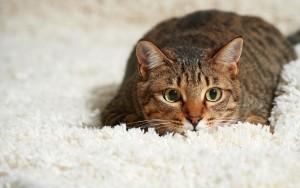 Как очистить диван или ковер от кошачьей мочи