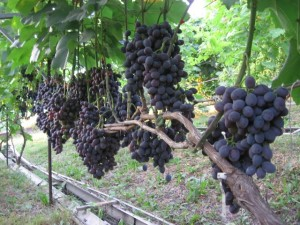 Обрезание винограда на зиму