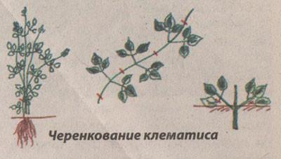 Размножение клематисов