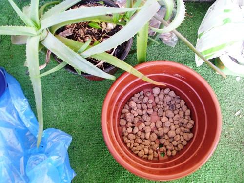 изучите особенности строения комнатных растений колеус алоэ бальзамин