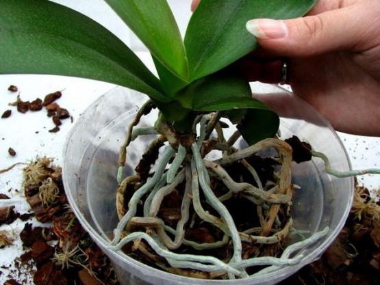 Орхидея дендробиум уход после цветения в домашних условиях