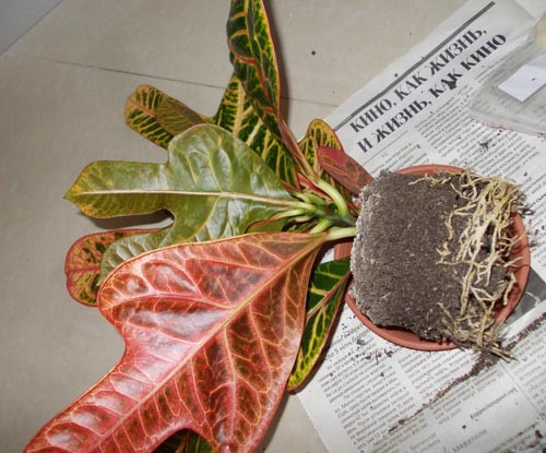 Как размножить кротон в домашних условиях