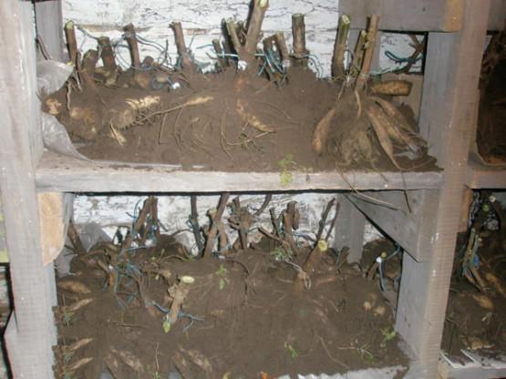 Хранение клубней георгинов зимой