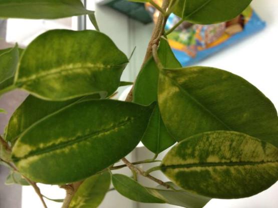 Неправильный уход за фикусом - желтые пятна на листьях