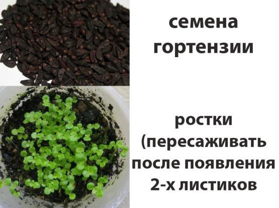 Как сажать гортензию в семенах 620